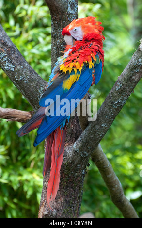 colourful green winged macaw - Stock Photo