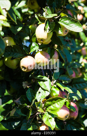 apples mature in the tree, harvest time, aepfel reifen im Baum, Erntezeit - Stock Photo