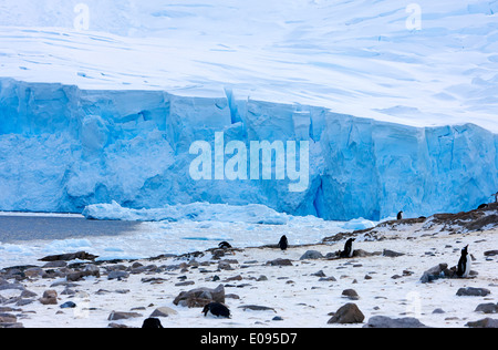 blue ice glacier and penguin colony at Neko Harbour arctowski peninsula Antarctic mainland Antarctica - Stock Photo