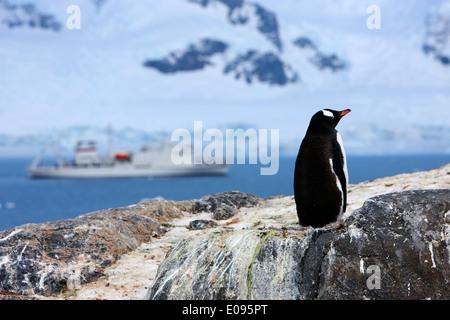 gentoo penguin on rocks with expedition ship behind at Neko Harbour arctowski peninsula Antarctic mainland Antarctica - Stock Photo