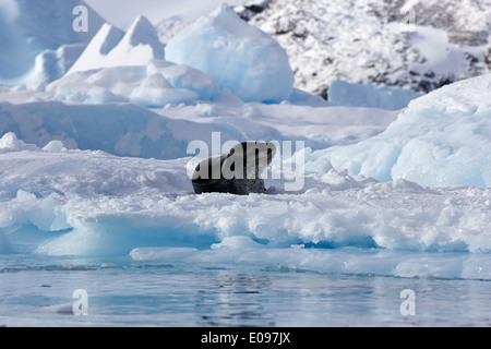 leopard seal lying on iceberg in blue glacial ice in brash sea pack ice cierva cove Antarctica - Stock Photo