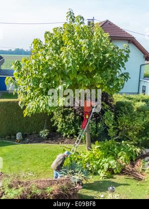 A gardener re-edits a tree. Works in the garden., Ein Gaertner schneidet einen Baum um. Arbeiten im Garten. - Stock Photo