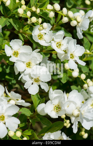 Exochorda x Macrantha - The Bride - Stock Photo