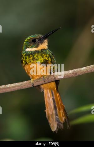 Rufous-tailed Jacamar (Galbula ruficauda) - Stock Photo