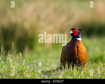 common pheasant, male, phasianus colchicus, germany - Stock Photo