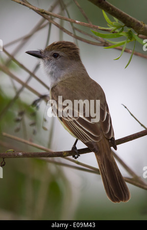 Great Crested Flycatcher (Myiarchus crinitus) - Stock Photo