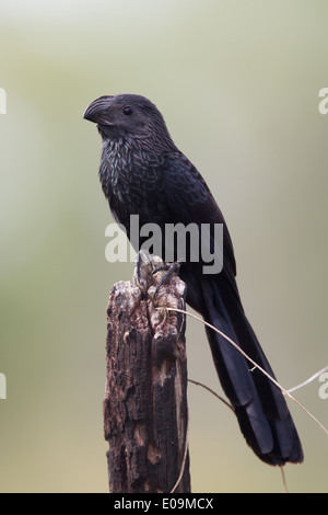 Groove-billed Ani (Crotophaga sulcirostris) - Stock Photo