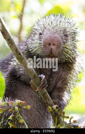 Mexican hairy dwarf porcupine (Sphiggurus mexicanus) - Stock Photo