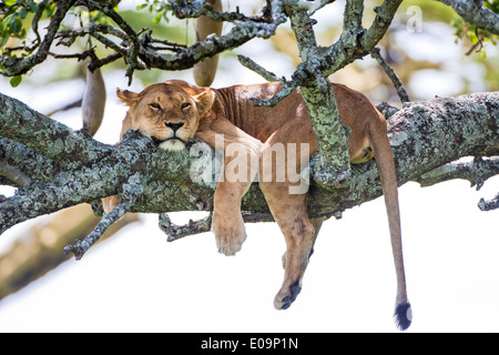 Lioness (Panthera leo) resting in a tree Photographed in Tanzania - Stock Photo