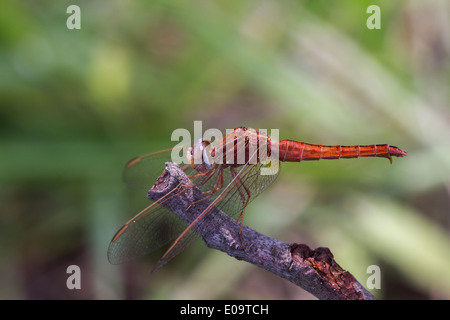 Scarlet Dragonfly (Crocothemis erythraea). Also Broad Scarlet, Common Scarlet-darter and Scarlet Darter - Stock Photo