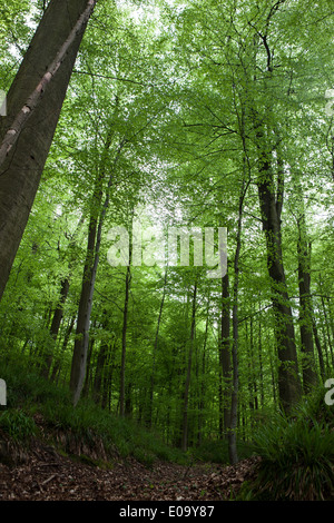 The Sonian Forest, Foret de Soignes, or Zoniënwoud, an 11,000 hectare woodland to the southeast of Brussels. - Stock Photo