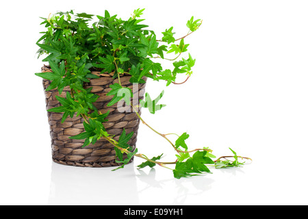 Green Ivy (Hedera helix) in pot, isolated on white background - Stock Photo