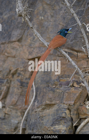 Asian Paradise Flycatcher (Terpsiphone paradisi) sub adult male in Ranthambore national park, India - Stock Photo