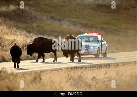 American Bisons or American Buffalos (Bison bison) standing on a road in front of a park ranger car, Yellowstone - Stock Photo