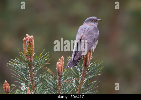 female Common Cuckoo (Cuculus canorus) - Stock Photo