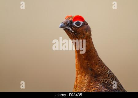 male Red Grouse (Lagopus lagopus scoticus) head