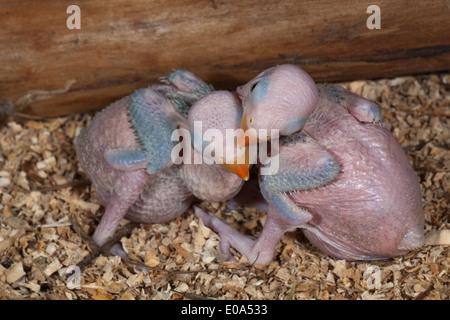 Rose-ringed or Ring-necked Parakeets (Psittacula krameri). Fourteen days old chicks. - Stock Photo
