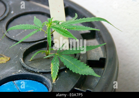 Young marijuana plants are being grown artificially in a plastic hydroponic container. - Stock Photo