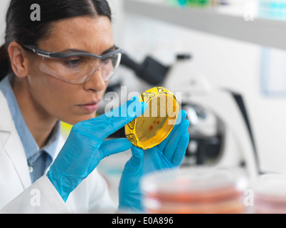 Female scientist viewing cultures growing in petri dishes with a biohazard tape on in a microbiology lab - Stock Photo