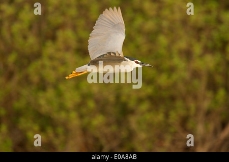 Night Heron (Black-crowned) Nicticorax nycticorax, Danube Delta, Romania - Stock Photo