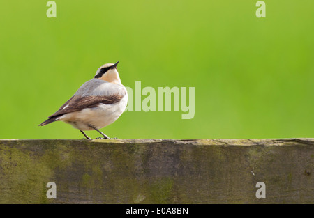 Male Wheatear Oenanthe oenanthe perched on wooden fence - Stock Photo