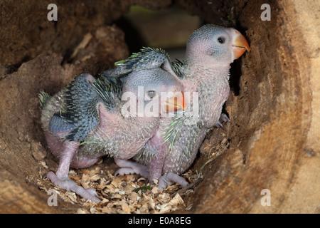 Rose-ringed or Ring-necked Parakeets (Psittacula krameri). Twenty three days old chicks in tree nest hole. - Stock Photo