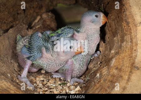 Rose-ringed or Ring-necked Parakeets (Psittacula krameri). Twenty two days old chicks in tree nest hole. - Stock Photo