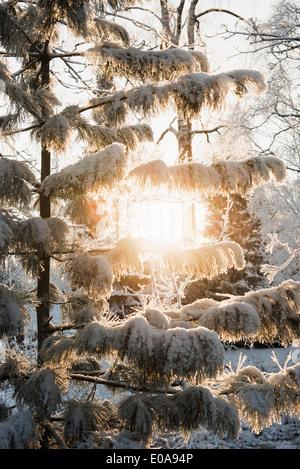 Sun shining through snow-covered trees - Stock Photo