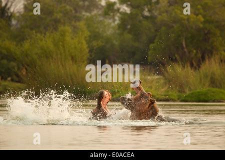 Hippopotamus - Hippopotamus amphibius - fighting in Zambezi River - Stock Photo