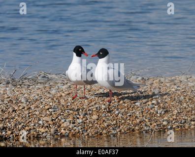 A pair of Mediterranean gulls (Larus melanocephalus) near the nesting colony it shares with Black-headed Gulls (Larus - Stock Photo
