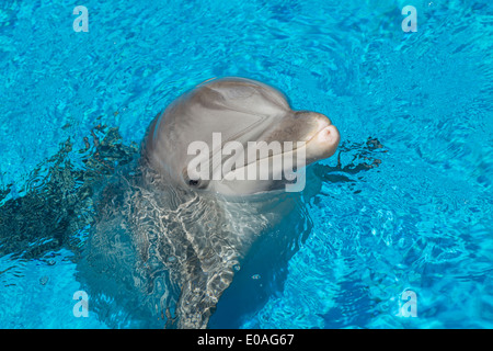 A Bottlenose dolphin stationary in clear blue training pool, USA - Stock Photo