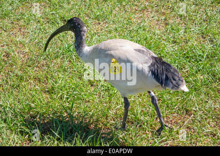 Sydney Australia NSW New South Wales Royal Botanic Gardens Australian White Ibis Threskiornis moluccus tagged - Stock Photo