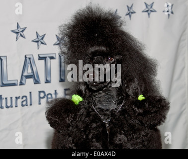 Black Poodle sitting on a grooming table watching the visiting crowd and the show rings. - Stock Photo
