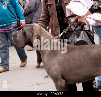 A grey Great Dane photogrpahed in profile, owner holding the lead tight. In the back people walking. Outdoor. - Stock Photo