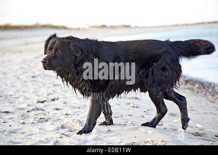 Germany, Schleswig-Holstein, Kiel, labrador coming out of sea - Stock Photo