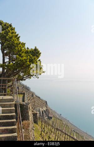 Switzerland, Waadt, Lake Geneva, Vineyard at Route de la Corniche - Stock Photo