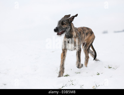 Irish Wolfhound puppy (Canis lupus familiaris) running on snow-covered meadow - Stock Photo