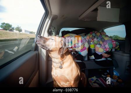 Dog in car back seat enjoying journey - Stock Photo