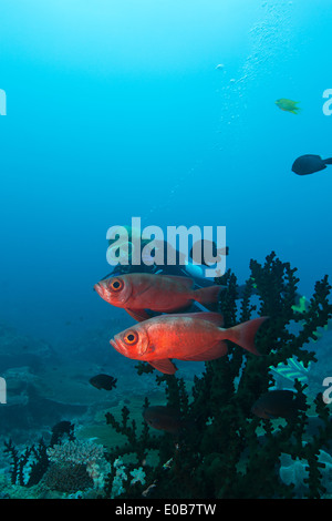 Diver and Bigeye. - Stock Photo