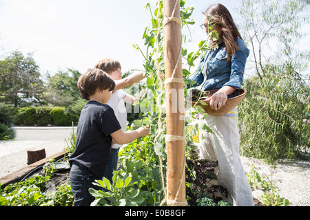 Mother and two boys harvesting peas in garden - Stock Photo