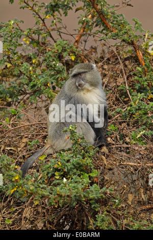 Samango monkey (Cercopithecus mitis labiatus) in a tree eating fruit, Mount Sheba, Mpumalanga, - Stock Photo