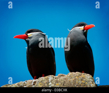 ORNITHOLOGY: Inca Tern (Larosterna inca) - Stock Photo