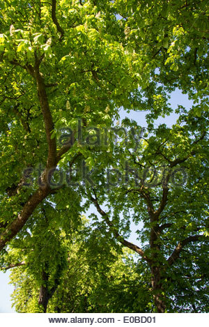 Horse chestnut trees in spring - Stock Photo