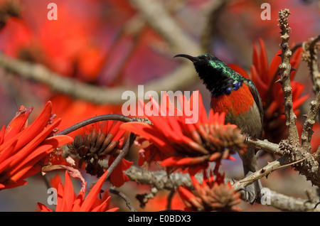 Greater Double-collared Sunbird (Cinnyris afer) male searching for nectar in Common Coral Tree - Stock Photo