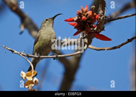 Greater Double-collared Sunbird (Cinnyris afer), female, Mpumalanga, South Africa, - Stock Photo
