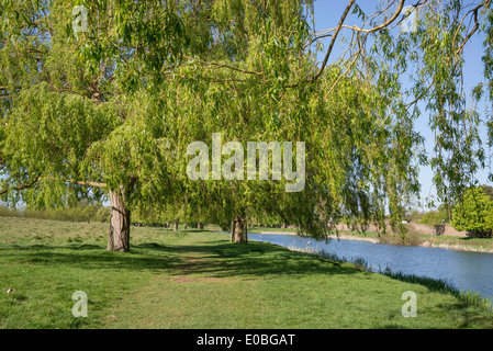 Weeping Willow Trees Home Park Hampton Wick Kingston Surrey