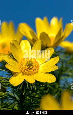 Close to pheasant's eye (Adonis vernalis) flowers of spring - Stock Photo