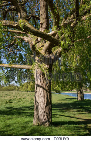 Weeping willow tree trunk - Stock Photo