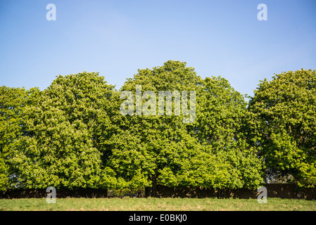 Horse chestnut trees in spring, Home Park, Hampton Wick, Kingston, London, UK - Stock Photo