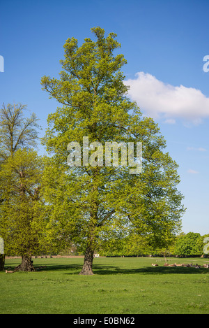 Beech Tree In Spring Home Park Kingston Surrey England London